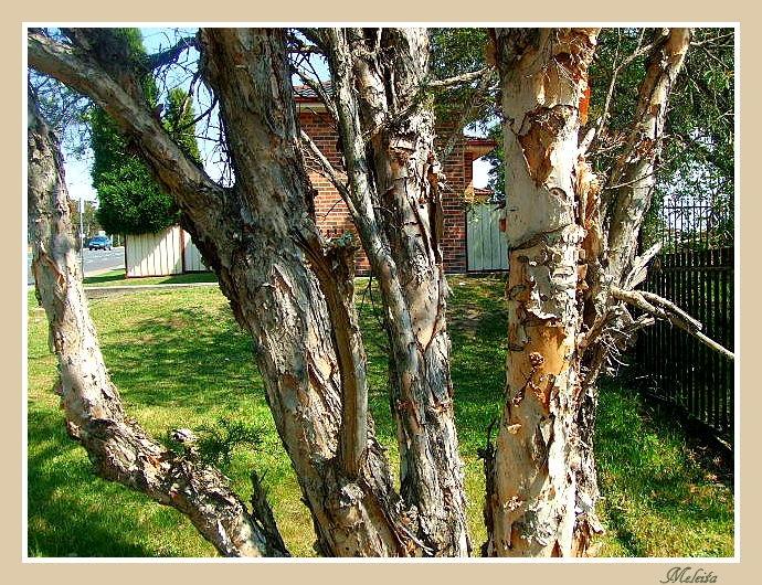 TEA TREE TRUNK