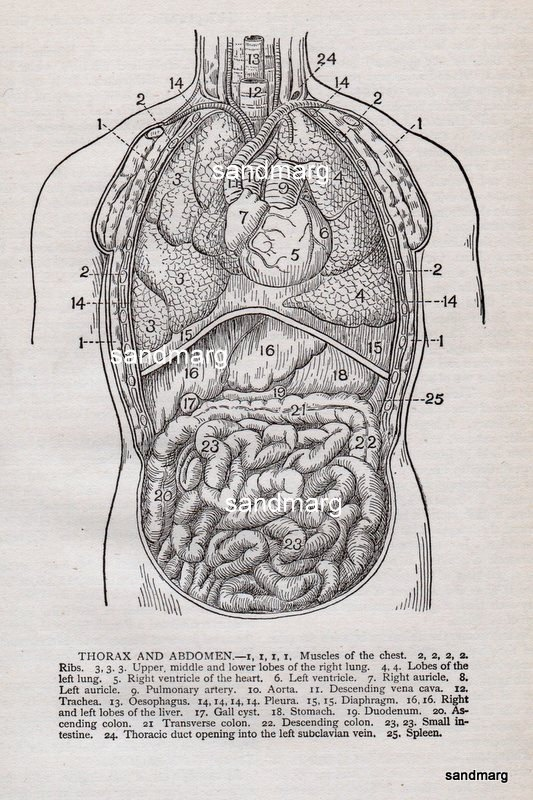 17 best images about vintage anatomy on pinterest