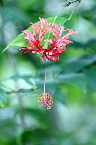 Hibiscus schizopetalus. Lanterne Japonaise.(origine kenya,mozambique,tanzanie)