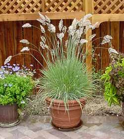 Pink Ruby Grass. I think I might try those in pots around the deck. Full sun with regular water but tolerates considerable dryness. Good thing to be drought tolerant in California this year.