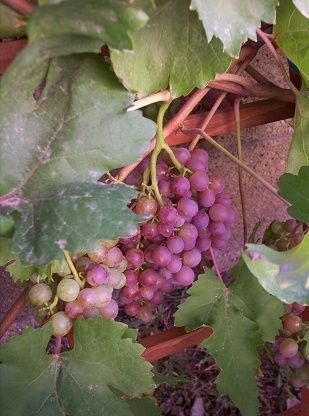 I want to plant grapes in my backyard.  Tips on growing grapes in the hot AZ desert.