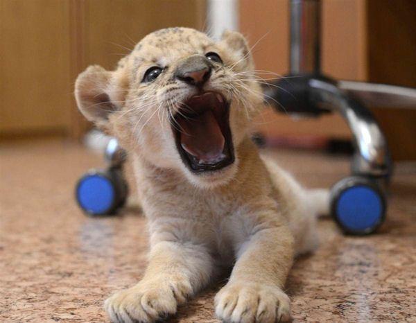 bébé lion féroce