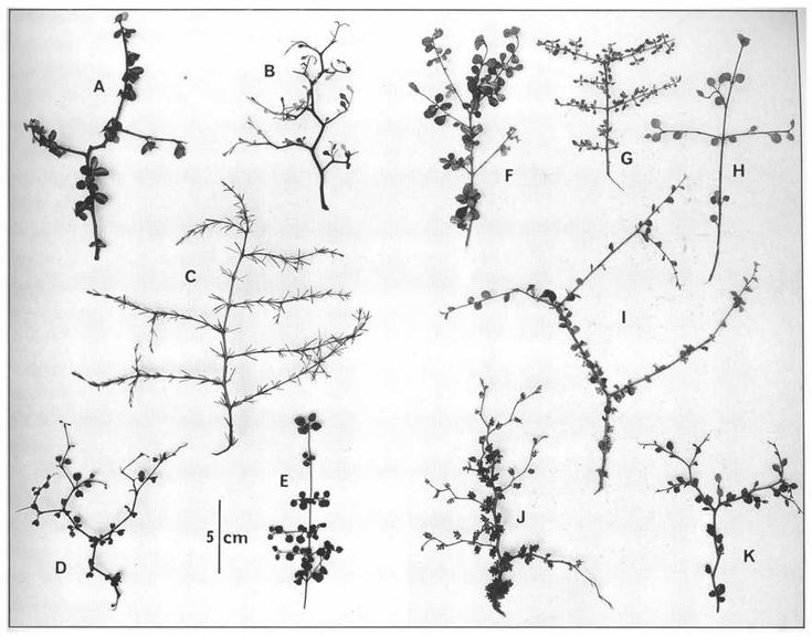 Figure 77 Leafy twigs of some of the New Zealand divaricate species, with one exception each from a different family:A, Myrsine divaricata.B, Corokia cotoneaster.C, Coprosma acerosa.D, Muehlenbeckia astonii.E, Teucridium parvifolium.F, Lophomyrtus obcordata.G, Coprosma wallii.H, Melicope simplex.I, Pittosporum obcordatum.J, Sophora prostrata.K, Pseudopanax anomalus.Photo: J. E. Casey.