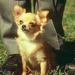 this one looks kinda like Ginger: Breed Chihuahuas, Luv Chihuahuas, Sweet Chihuahuas, Adorable Animals, Adorable Puppies, Chihuahua Dogs, Long Hair Chihuahua, Rose Bud, Chihuahua Photos