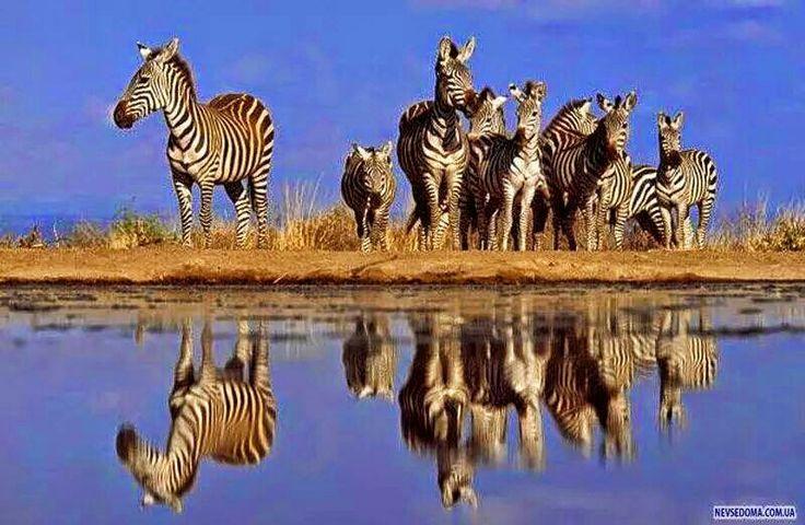 Vahsi Afrika  &  Wilde Africa ZEBRA: