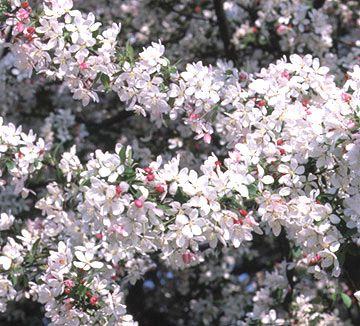 Japanese flowering crabapples are small to midsized trees ranging in habit from low mounds to upright, narrow, or weeping types. In spring, they are covered with fragrant white, pink, or red flowers, and in fall with small yellow, orange, or red apples. http://www.bhg.com/gardening/trees-shrubs-vines/trees/best-flowering-trees-shrubs/?socsrc=bhgpin042515floweringcrabapple&page=9