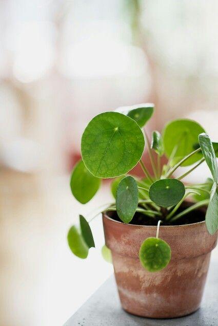 Pilea peperomioides - plantje voor thuiswerk-bureau