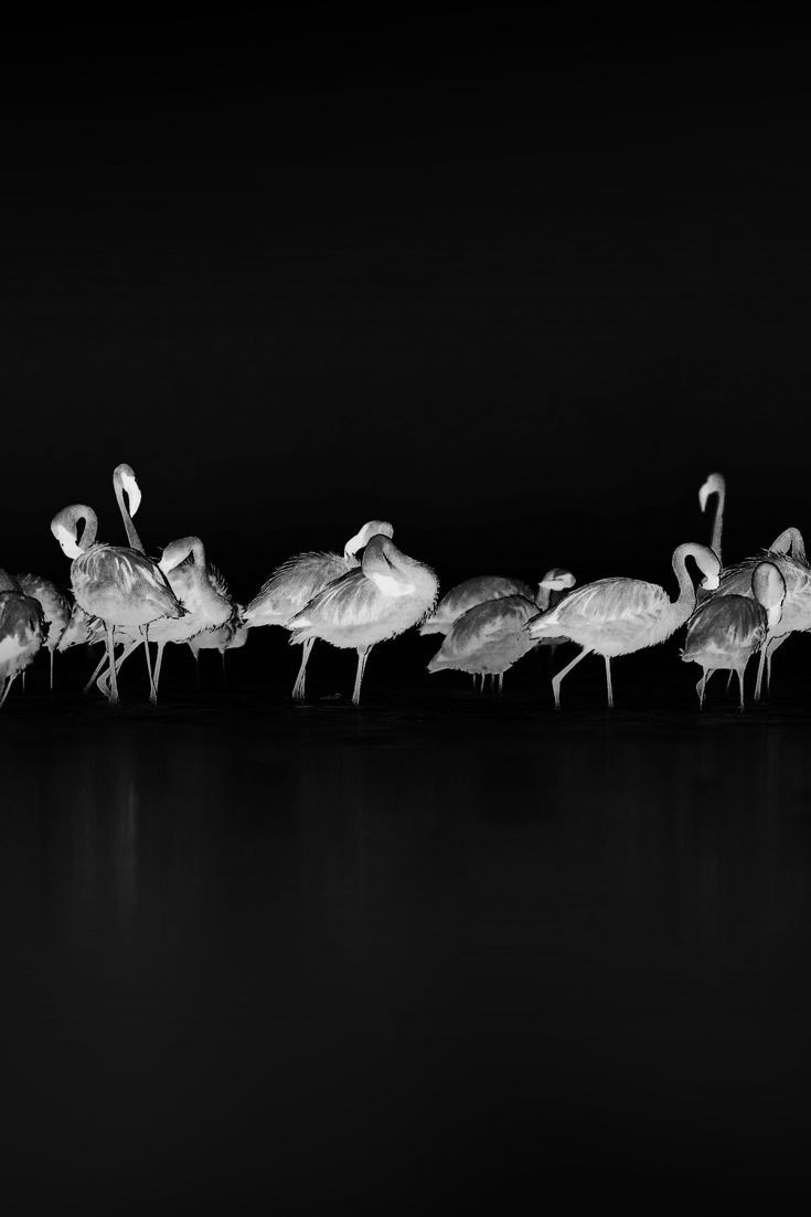 Download Free Hd Wallpaper From Above Link Line Flamingos