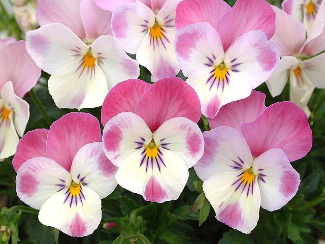 Gorgeous and unusual pink violas.