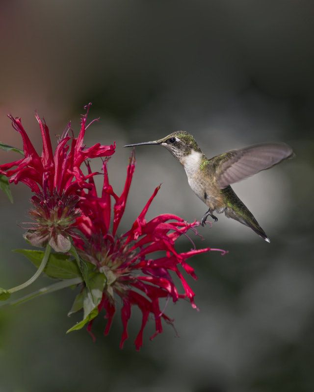 Best Hanging Basket Flowers For Hummingbirds : Best images about bee balm on scarlet