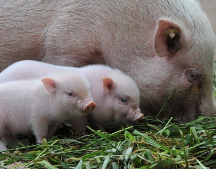 """These mini piglets have us squealing """"aww"""" as they stand next to their mother at the Hanover Zoo in Germany."""