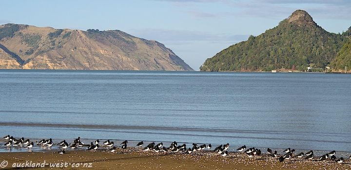 Oystercatchers in Huia Bay