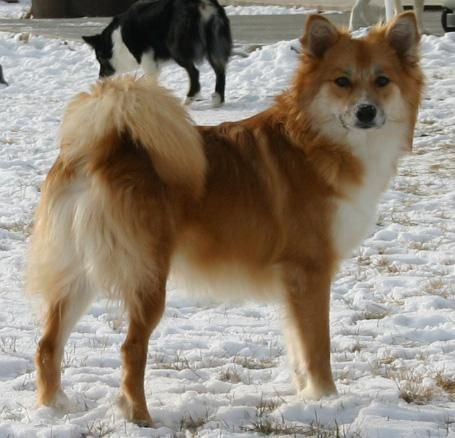 Icelandic Sheepdog | Icelandic Sheepdog Puppies at Sand Creek
