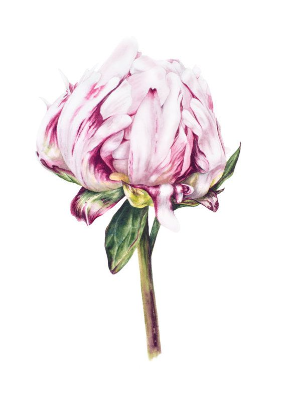 Peony   Original Watercolour Painting Botanical by BlueShedStudio