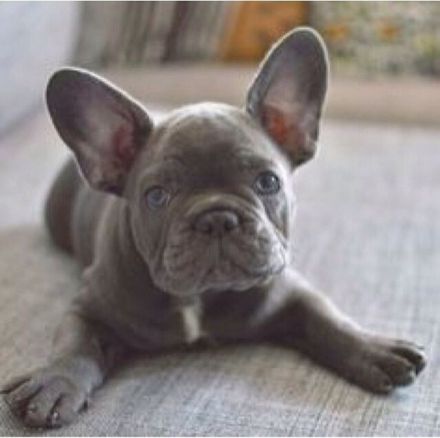 I want a gray French Bulldog with blue eyes!!