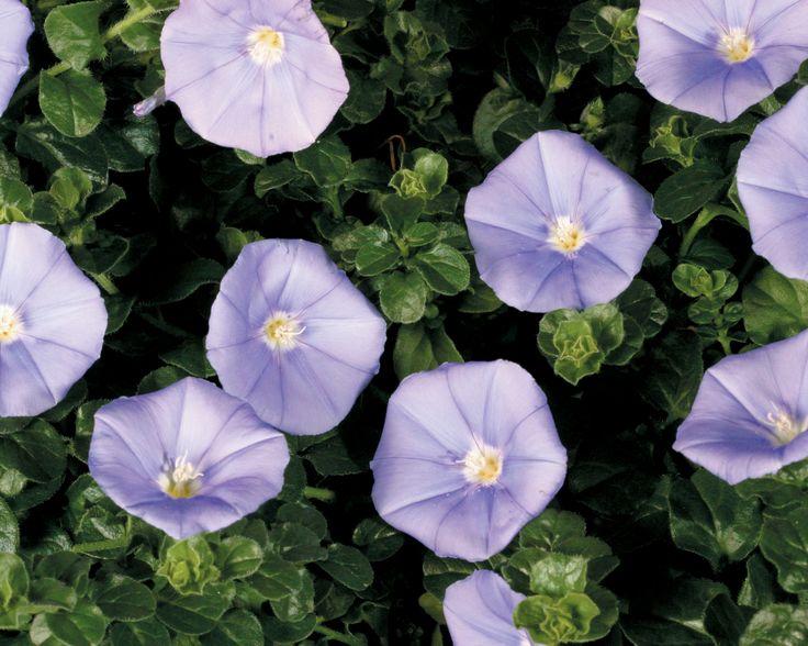 Blue Casbah® - Moroccan Glory Vine - Convolvulus sabatius