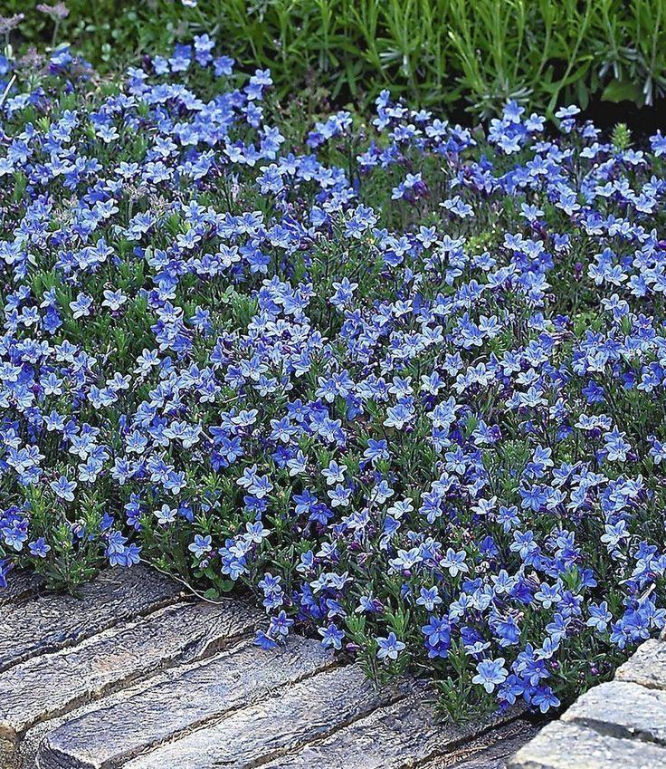 Winterharter Bodendecker Lithodora 'Heavenly Blue', 3 Pflanzen: Amazon.de: Garten