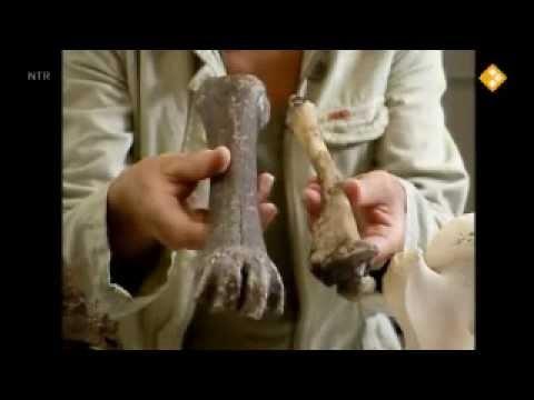 Koekeloere: botjes (thema dieren/dinosaurus/botjes)