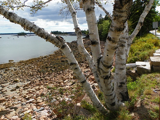 September 11, 2012 A Birch Tree Painting At Seal Harbor! | Plein Aire in Maine