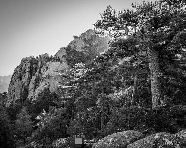 Sunny tops of laricio pines, Calanca Murata, Bavella, Corsica, France, 2012 © Amaury Descours - All rights reserved