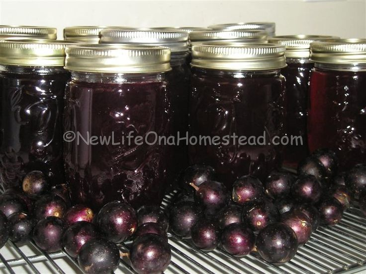 New Life On A Homestead » Blog Archive Free Muscadines & A Muscadine Jelly Recipe