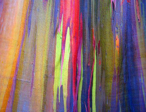 rainbow eucalyptus trees (Eucalyptus deglupta) | ... árbol EXTRATERRESTRE es el Eucalyptus deglupta (Eucalipto Arco Iris