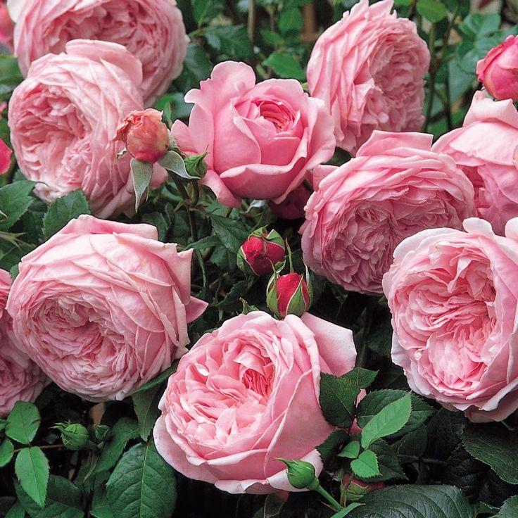 сорта роз с фото и названиями плетистые только