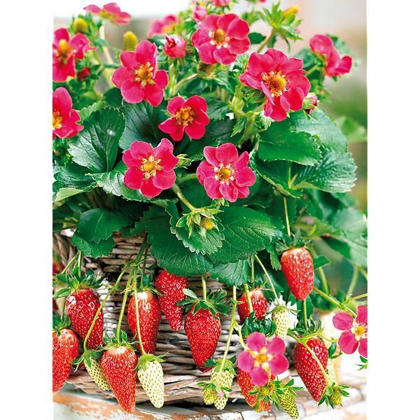 17 meilleures id es propos de fraisier remontant sur pinterest partie agricole ancienne. Black Bedroom Furniture Sets. Home Design Ideas