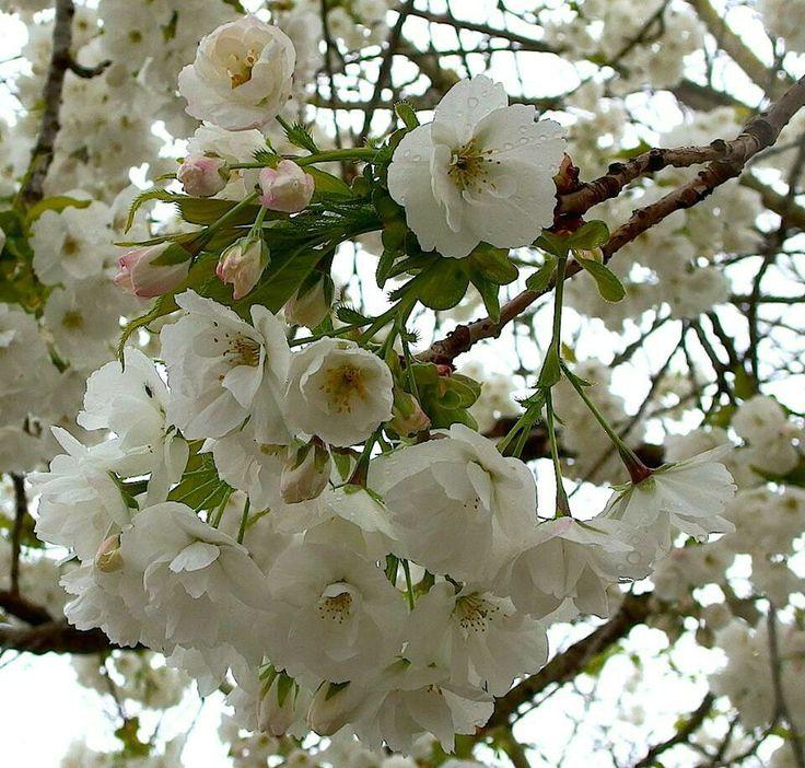 Prunus 'Taihaku' bears the most amazing, scented, white cherry flowers.
