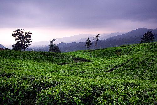 Tea Plantation , Bandung West Java Indonesia