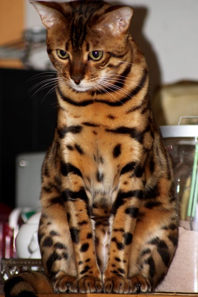 """""""A cat is a tiger that is fed by hand."""" --English Proverb"""