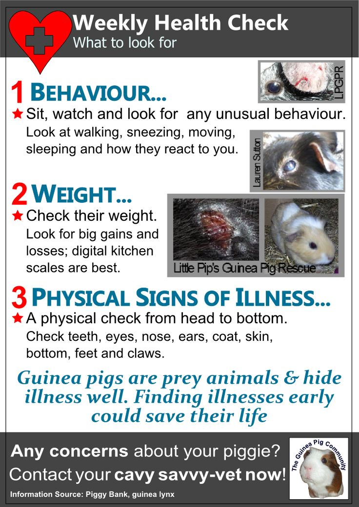 Weekly health check for your guinea pigs
