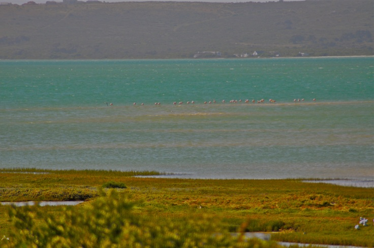 Flamingos in the lagoon, Churchaven, South Africa