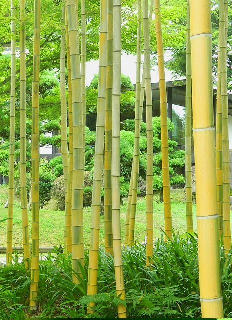 Stripes of green bamboo is rare to both sides  緑色の縞が 裏表に 珍しい竹