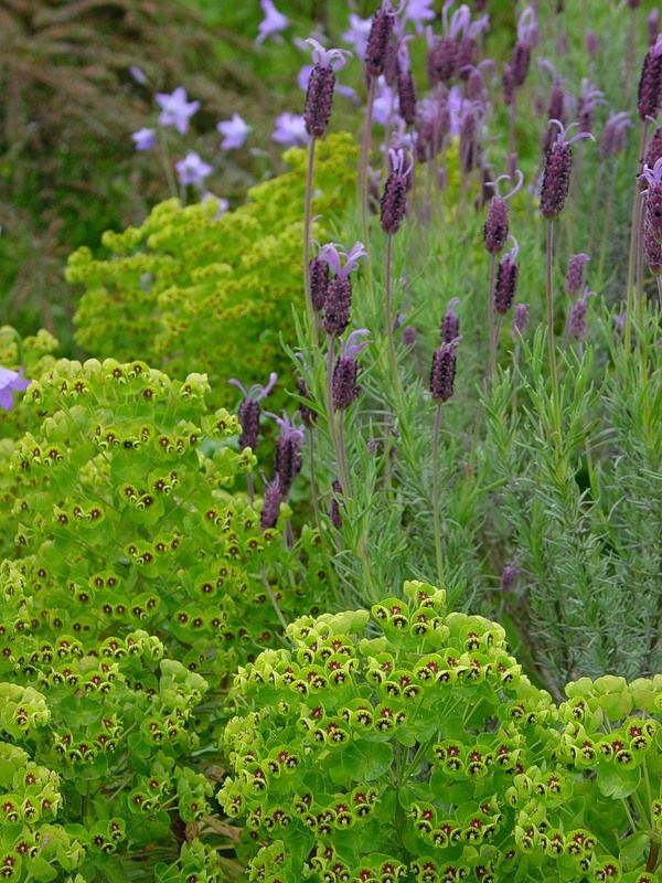 PURPLE AND GREEN; Euphorbia and Mexican Lavender