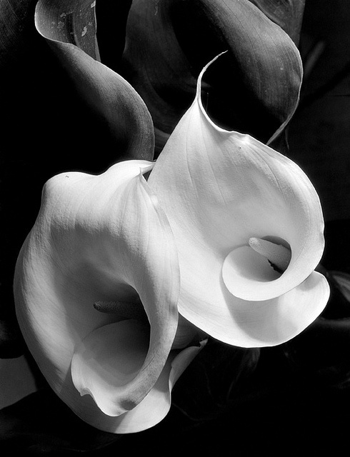 Two Callas, c.1925. Photo: Imogen Cunningham. Cunningham was a great photographer. Like black and white in general, the image takes the complexity of life and makes it visually intelligible, and this is usually beautiful, as here