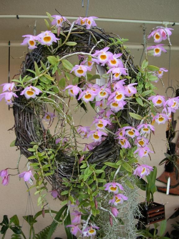Orchid Mounting Ideas   Mounting on different kinds of medias-den.-loddigessi-wreath.5.2010 ...