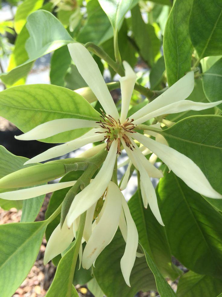 Michelia alba bloom, so fragrant and delicate!