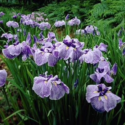 Japanese Iris 'Caprician Butterfly'