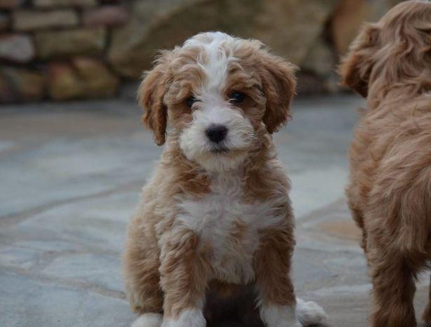 Best Goldendoodle Breeders Jpg Labradoodle Puppy Goldendoodle Puppy Doodle Puppy