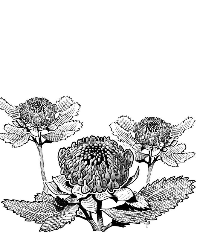 Australian Waratah - Illustrated by Glenn Lumsden