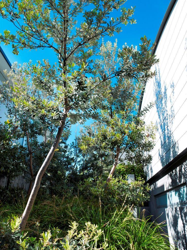 Banksia and lomandra 1