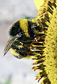 """Counting the Vanishing Bees - """"new monitoring method, which is remarkably cheap and efficient for tracking national, regional or global bee populations."""""""