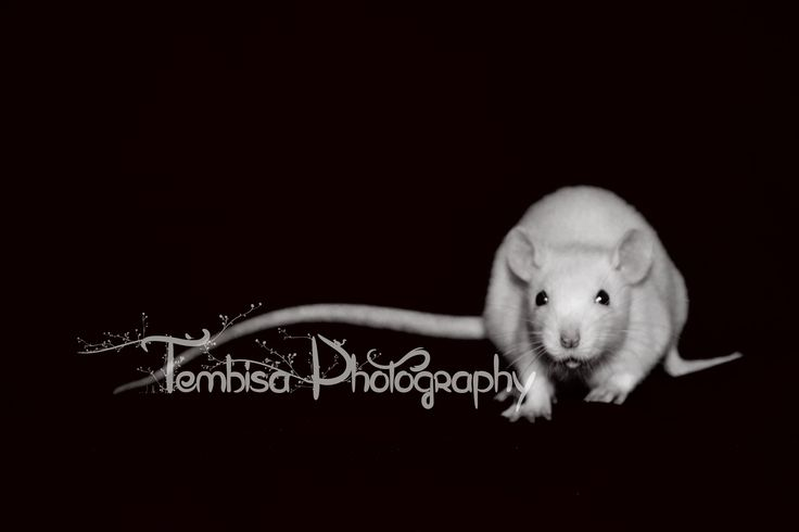 Taking photos of pet rats, requires a lot of patience. The results are so worth it.