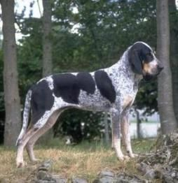 Grand Bleu de Gascogne Breed Information: History, Health, Pictures, and more