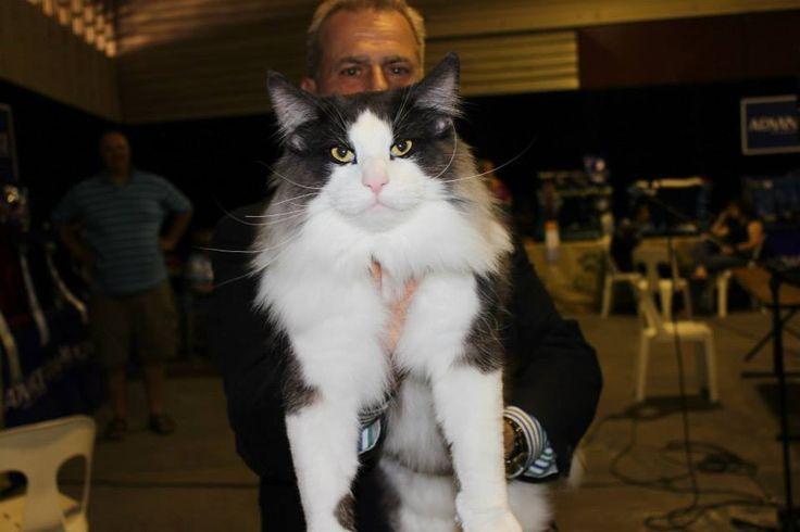 Our Feline People's Choice Award winner - Konsul