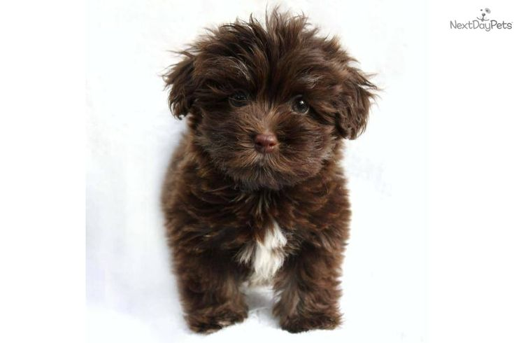 Havanese Puppy for Sale: Cutie-adorable female AKC Chocolate Havanese - 9320583a-9a11