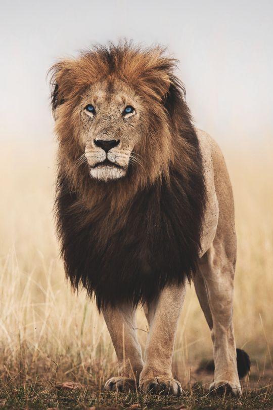 best 20  lion photography ideas on pinterest