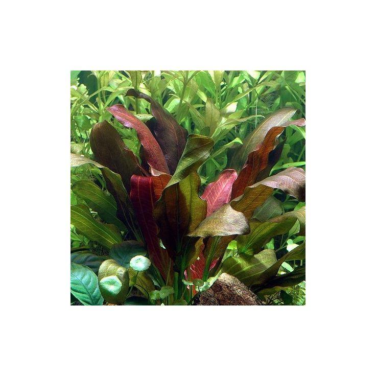 Echinodorus barthii - Barths Schwertpflanze