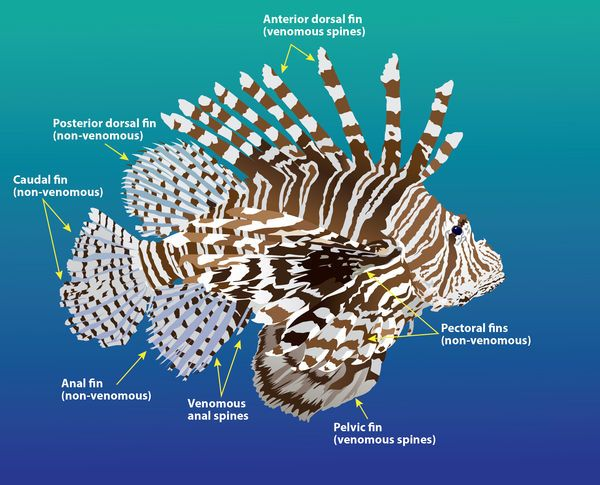 Lionfish - what to do if stung